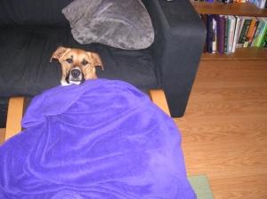 blanket daisy